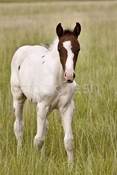 Stock fotó: Ló · Saskatchewan · mező · áll · bámul