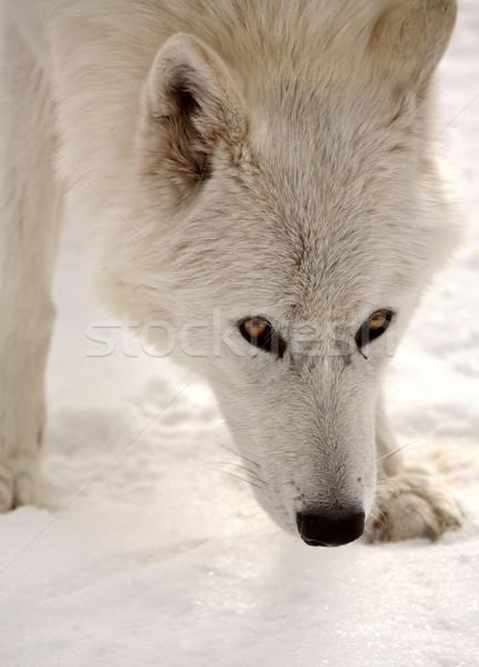 Сток-фото: Арктика · волка · снега · покрытый · землю · природы