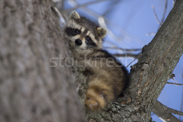 Racoon in Winter Stock photo © pictureguy
