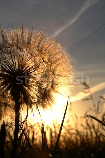 Sunlit goatsbeard seed pod in scenic Saskatchewan Stock photo © pictureguy
