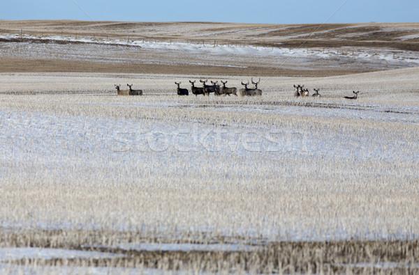 Stock photo: Deer in winter