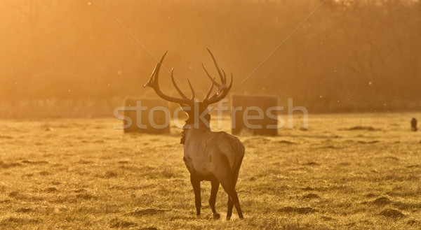 Sunset Elk Bull Stock photo © pictureguy