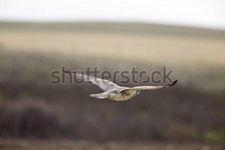 ястреб полет продовольствие птица орел крыльями Сток-фото © pictureguy