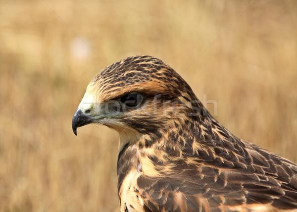 Stock fotó: Sólyom · föld · festői · Saskatchewan · madár · szín