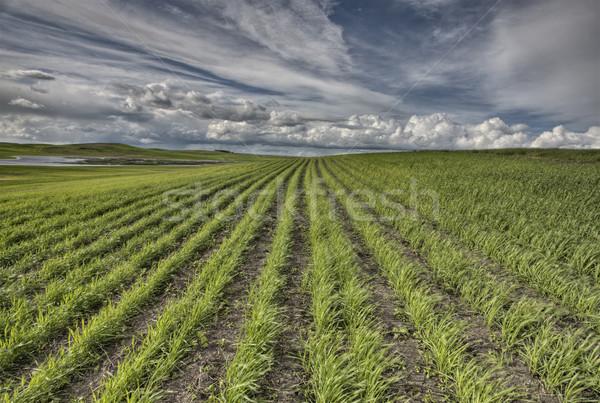 新しく サスカチュワン州 カナダ 夏 農業 ストックフォト © pictureguy