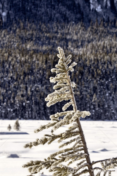 Pine Tree in Winter Stock photo © pictureguy