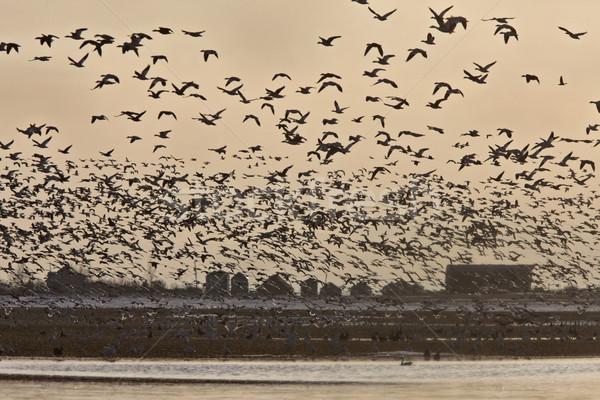 Sneeuw ganzen vlucht saskatchewan Canada Stockfoto © pictureguy