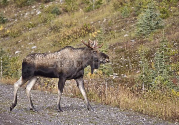 牛 ムース 山 フィールド 公園 ストックフォト © pictureguy