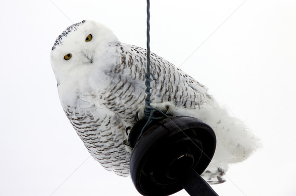 Snowy Owl Perched Stock photo © pictureguy