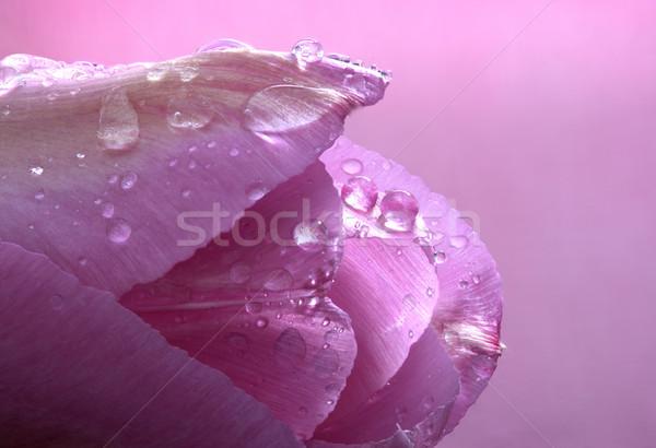 Pink Tulip Macro Stock photo © pictureguy