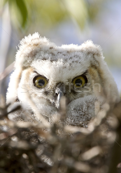 Great Horned Owl Babies Owlets in Nest Stock photo © pictureguy