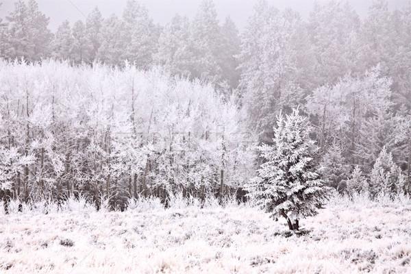 Ciprus dombok tél Saskatchewan Stock fotó © pictureguy