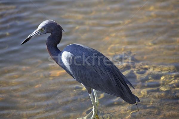 Pequeno azul garça-real lagoa pássaro digital Foto stock © pictureguy