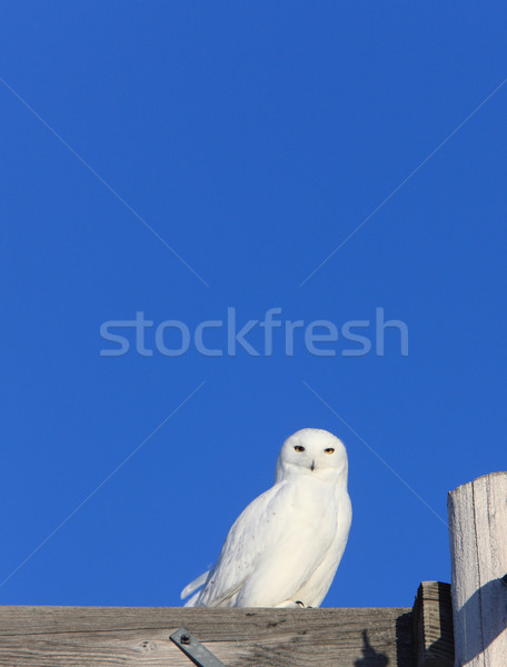 Snowy Owl Male on Pole Winter Canada Stock photo © pictureguy