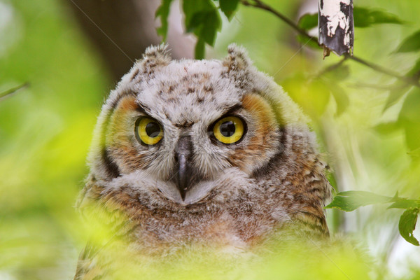 Great Horned Owl fledgling perched in tree Stock photo © pictureguy
