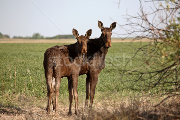 Female moose with male calf in Saskatchewan field Stock photo © pictureguy