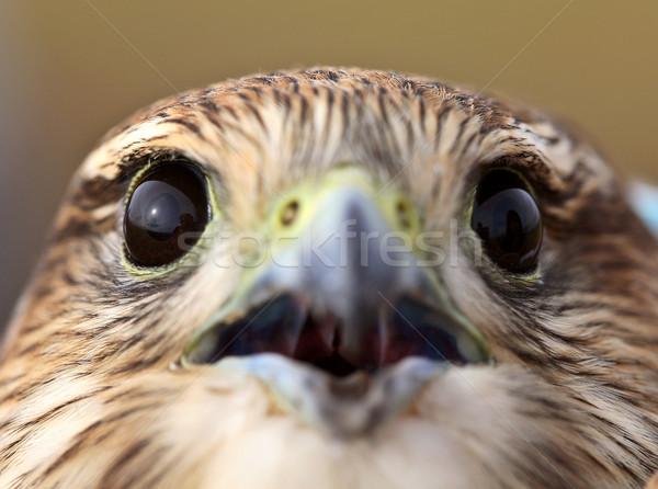Stock fotó: Közelkép · fiatal · festői · Saskatchewan · madár · fotó