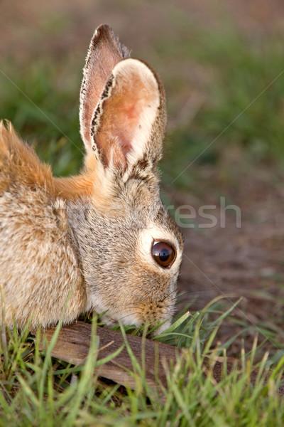 Bush konijn bunny saskatchewan Canada gras Stockfoto © pictureguy