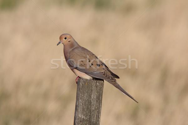 Stockfoto: Rouw · duif · hek · post · natuur · vogel