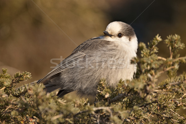 Baby Gray Jay Stock photo © pictureguy