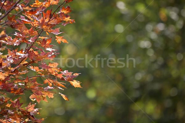 Sonbahar yaprakları şeker akçaağaç kırmızı turuncu renk Stok fotoğraf © pictureguy