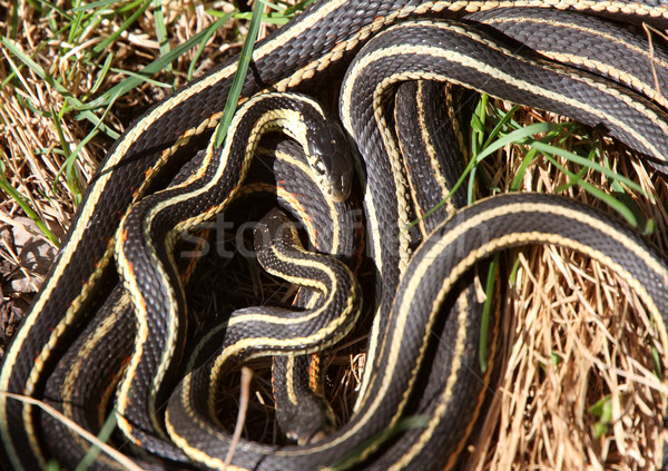 Garter Snakes mating Stock photo © pictureguy
