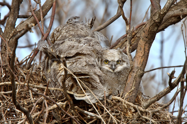 Great Horned Owl adult and and owlet in nest  Stock photo © pictureguy