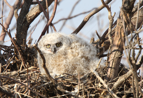 Stock photo: Great Horned Owlet in nest in spring