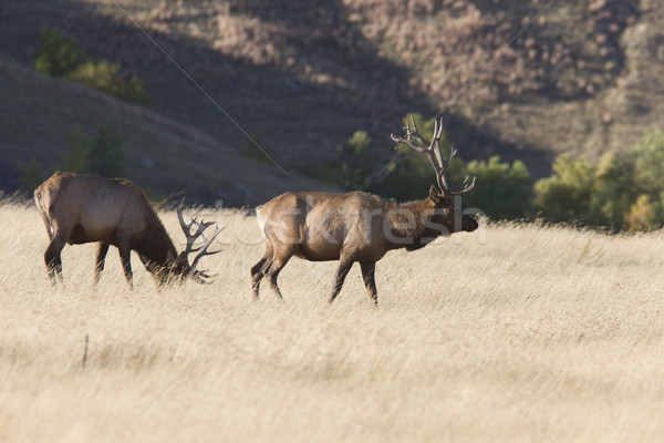 Bull Elk Stock photo © pictureguy