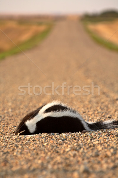 Dead skunk in the middle of a Saskatchewan country road Stock photo © pictureguy
