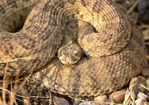 Rattlesnake curled beside a Saskatchewan road Stock photo © pictureguy