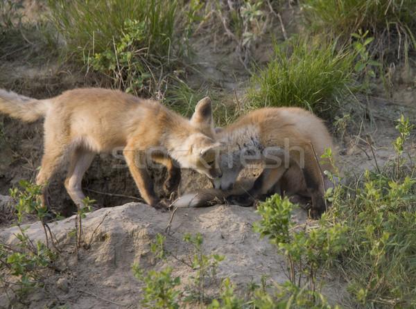 Jonge vos uitrusting spelen saskatchewan Canada Stockfoto © pictureguy