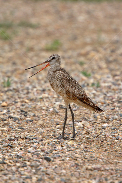 Marbled Godwit on gravel road Stock photo © pictureguy