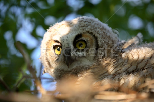 Great Horned Owlet in nest in scenic Saskatchewan Stock photo © pictureguy