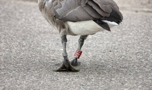 Goose Leg Banded Stock photo © pictureguy