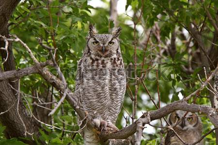 two Great Horned Owl fledglings perched in tree Stock photo © pictureguy