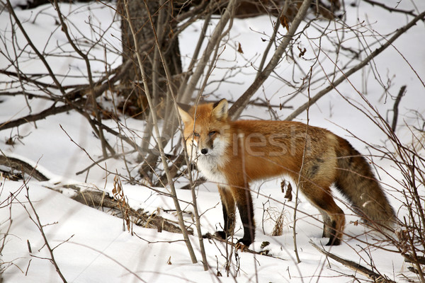Red Fox in a forest in Alberta Canada Stock photo © pictureguy
