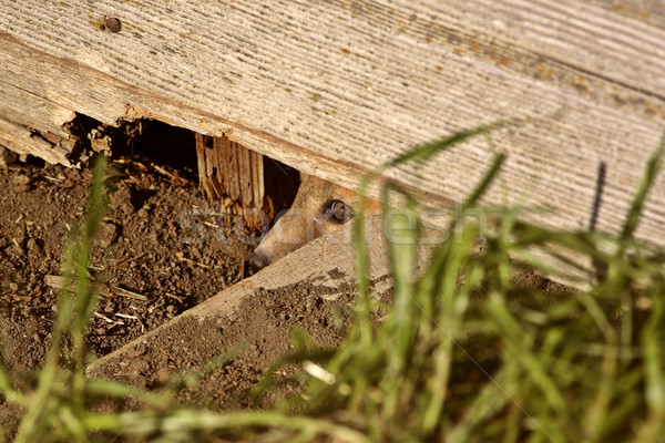 Red Fox kit peaking out from den under old granary Stock photo © pictureguy
