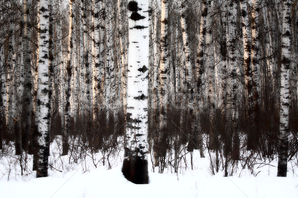 Aspen forest in winter Stock photo © pictureguy