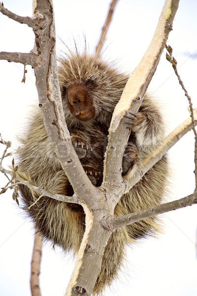 Porcupine in tree Stock photo © pictureguy