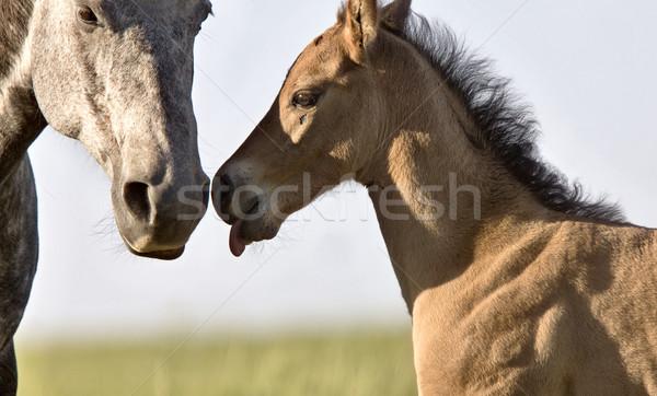 Colt newborn in field Stock photo © pictureguy