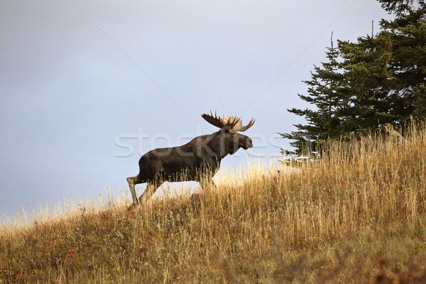 Byka łoś cyprys wzgórza parku dziedzinie Zdjęcia stock © pictureguy