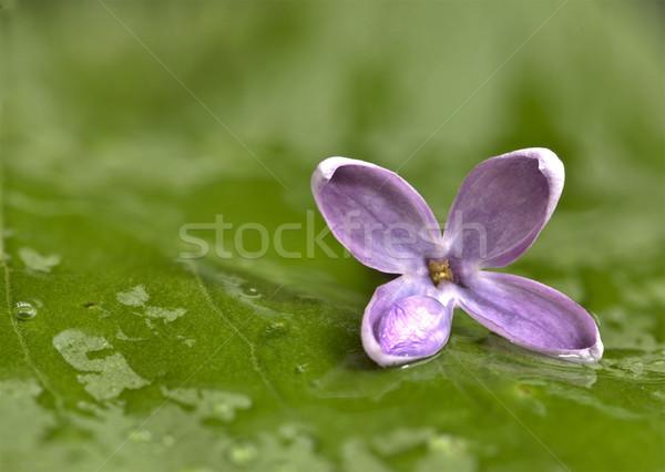 Studio macro waterdruppels bloem Stockfoto © pictureguy