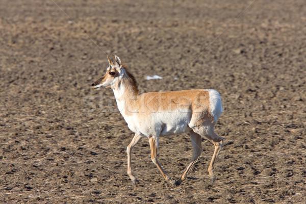 Saskatchewan Canada natura animale gioco Foto d'archivio © pictureguy