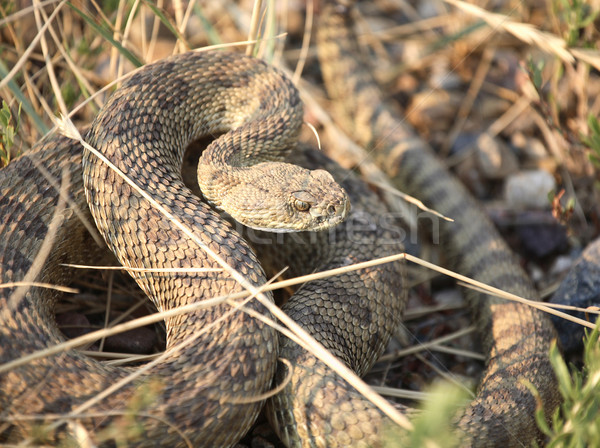 Rattlesnake curled beside a Saskatchewan road Stock photo © pictureguy