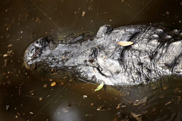 Alligator in a Florida swamp Stock photo © pictureguy