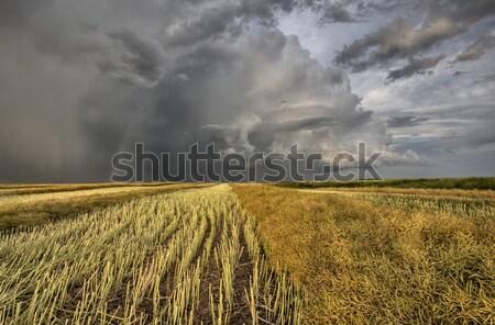 Stock fotó: Borosta · mező · vihar · égbolt · naplemente · zöld