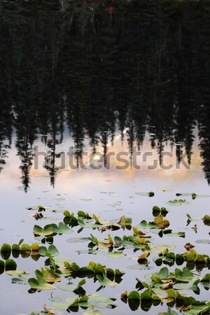 Water Lilly leaves and reflection of Lodgepole Pines Stock photo © pictureguy