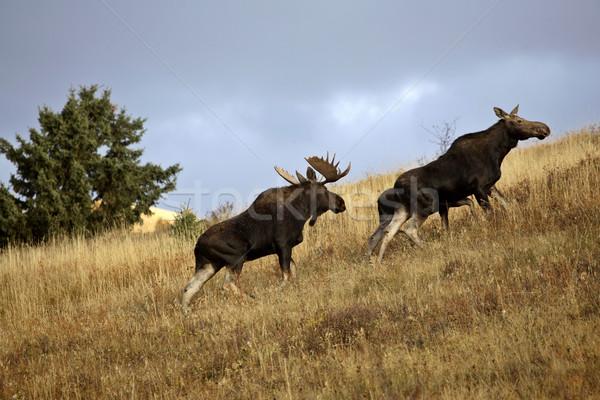 Bika tehén jávorszarvas ciprus dombok park Stock fotó © pictureguy
