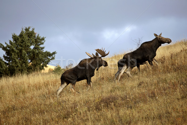 Stier koe eland heuvels park Stockfoto © pictureguy